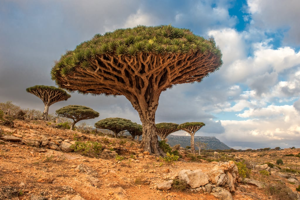 Dragon Trees, Yemen