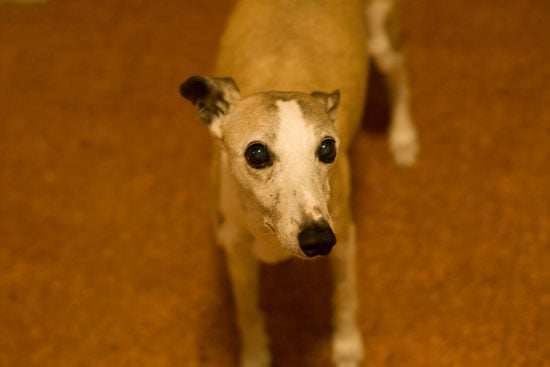 Whippet Trivia