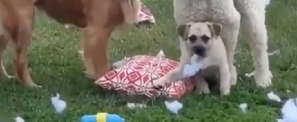 Video of 3 Dogs Tearing Up a Pillow in the Backyard