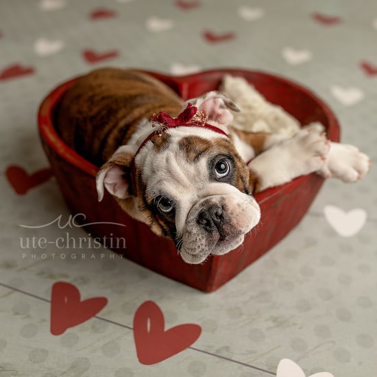 Newborn English Bulldog Puppy Photos For Valentine's Day