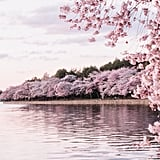 Cherry Blossoms, Washington DC, USA