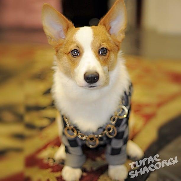 Hey, hey! It's everyone's favorite hip-hop dog, Tupac Shacorgi. He's been keepin' it real since the last time we saw him. Source: Instagram user tupacshacorgi