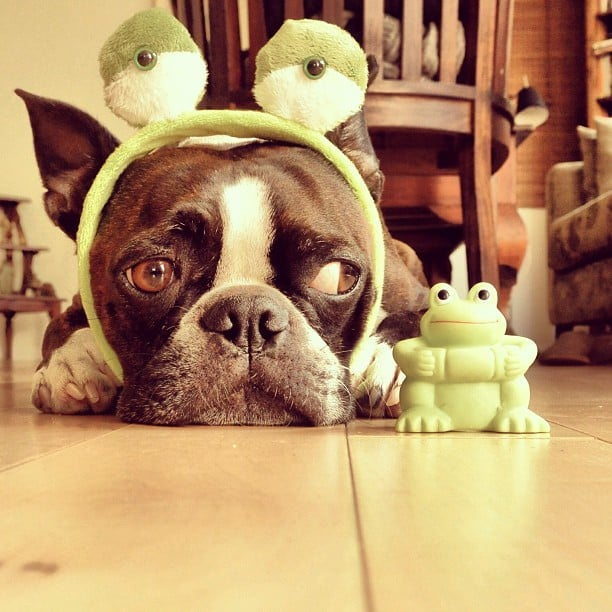 This is Kotaro. He's a Boston Terrier, and he's a little wary of the world. Luckily, he's got a little frog friend to help him look on the bright side. Source: Instagram user kotaro2007