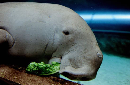 A dugong, a close relative of the manatee, is enjoying her special birthday cake at the Sydney Aquarium.