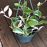 Hoya Carnosa Tricolour