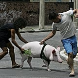Pig on a Leash