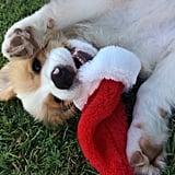 A Playful Christmas Pup