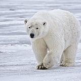 Help Polar Bears