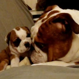 English Bulldog Puppy Video