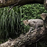 For savannah-dwellers, these cheetahs are pretty fearless in their exploration of new heights!