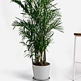 Potted Bamboo Palm Indoor Plant
