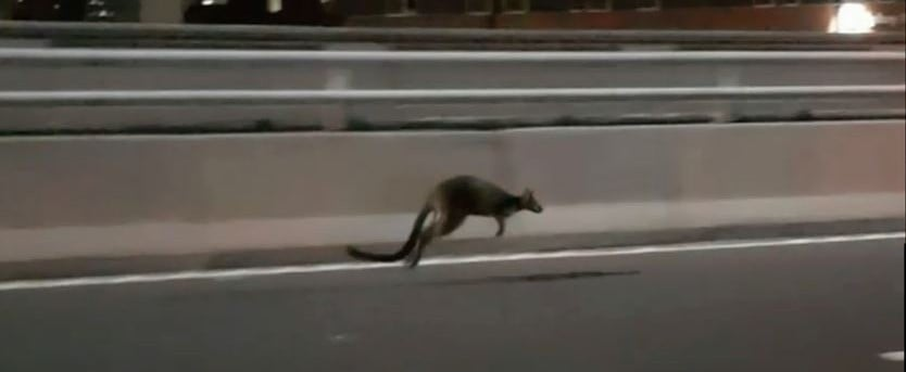 A Wallaby Hopped Across the Sydney Harbour Bridge This Morning Because of Course