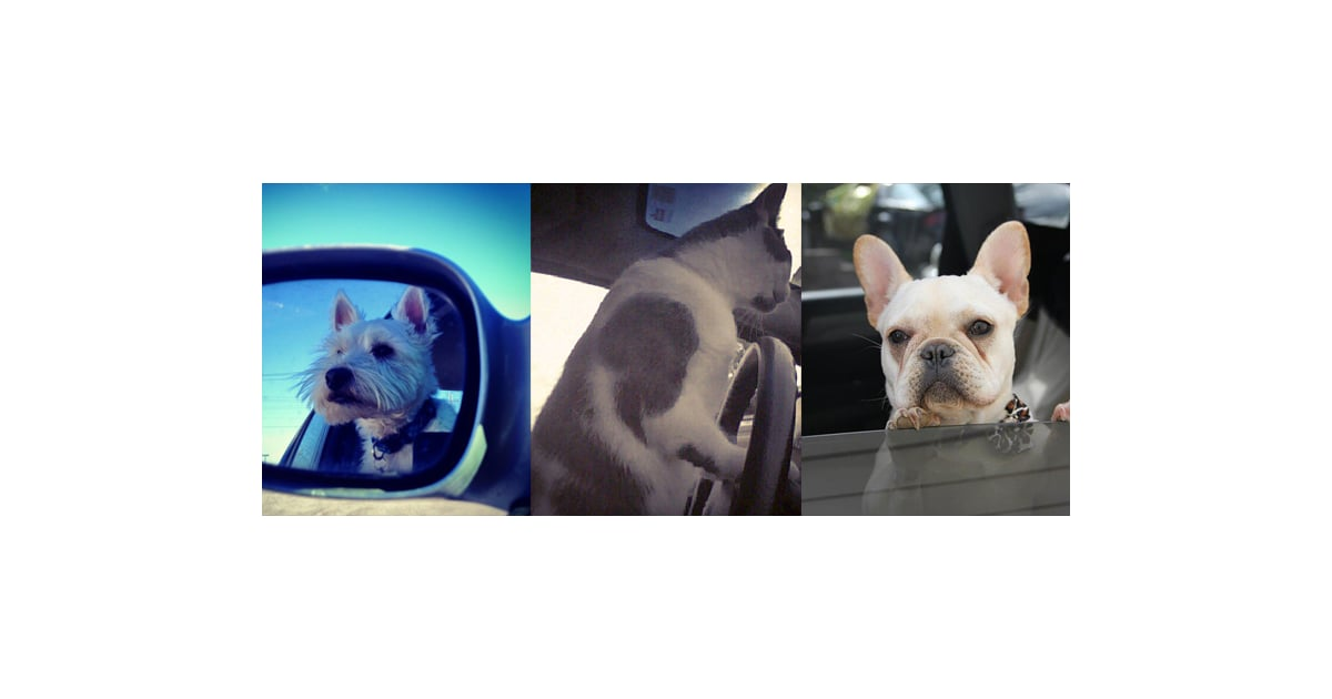 dogs and cats in cars pictures popsugar pets. Black Bedroom Furniture Sets. Home Design Ideas