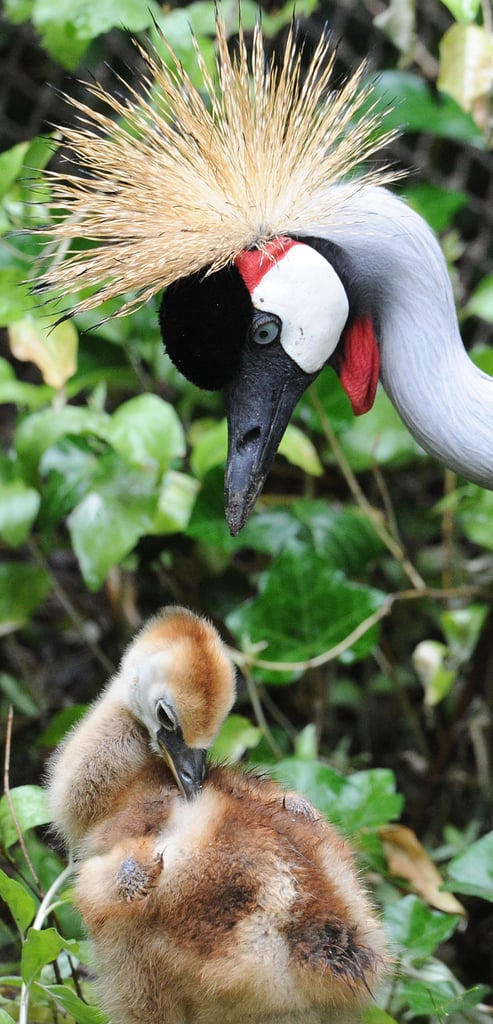 A grey crowned crane chick can expect to have a great plume like mom someday, but in the meantime, he'll enjoy the sunshine! Source: Getty