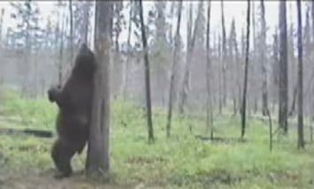 If a Bear Dances in the Forest...
