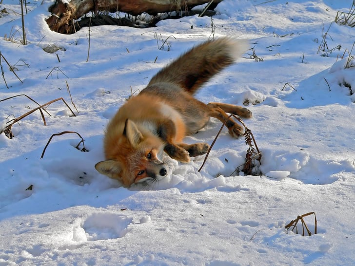 Fox In The Snow Where Do You Go Animals Playing In The