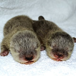 Dubai Aquarium and Underwater Zoo Asks to Name Baby Otters
