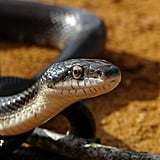 Snake's scales are made of keratin, the same as our fingernails. And these reptiles don't have eyelids but instead a clear scale that protects the eye when needed. Certain sea snakes can breathe through their scales, allowing them to stay underwater longer. Source: Flickr user Furryscaly