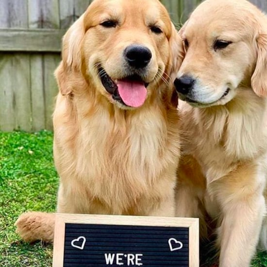 Golden Retriever Pregnancy Announcement