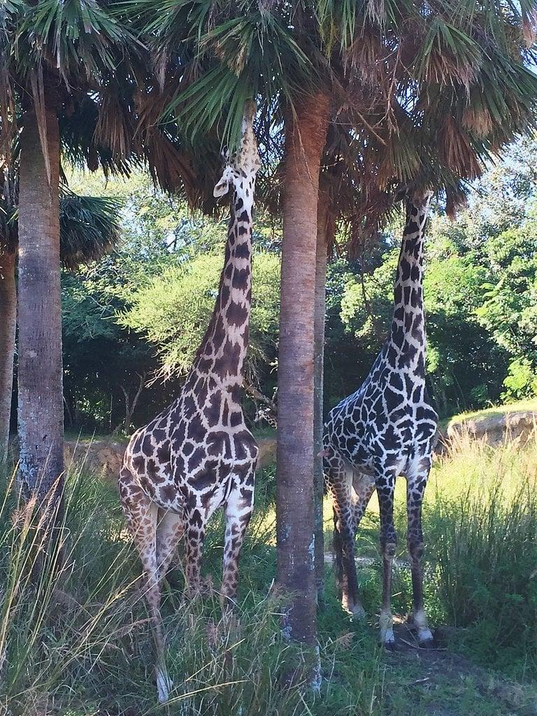Go on a Kilimanjaro Safari in Walt Disney World.