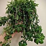 Curly Lipstick Plant