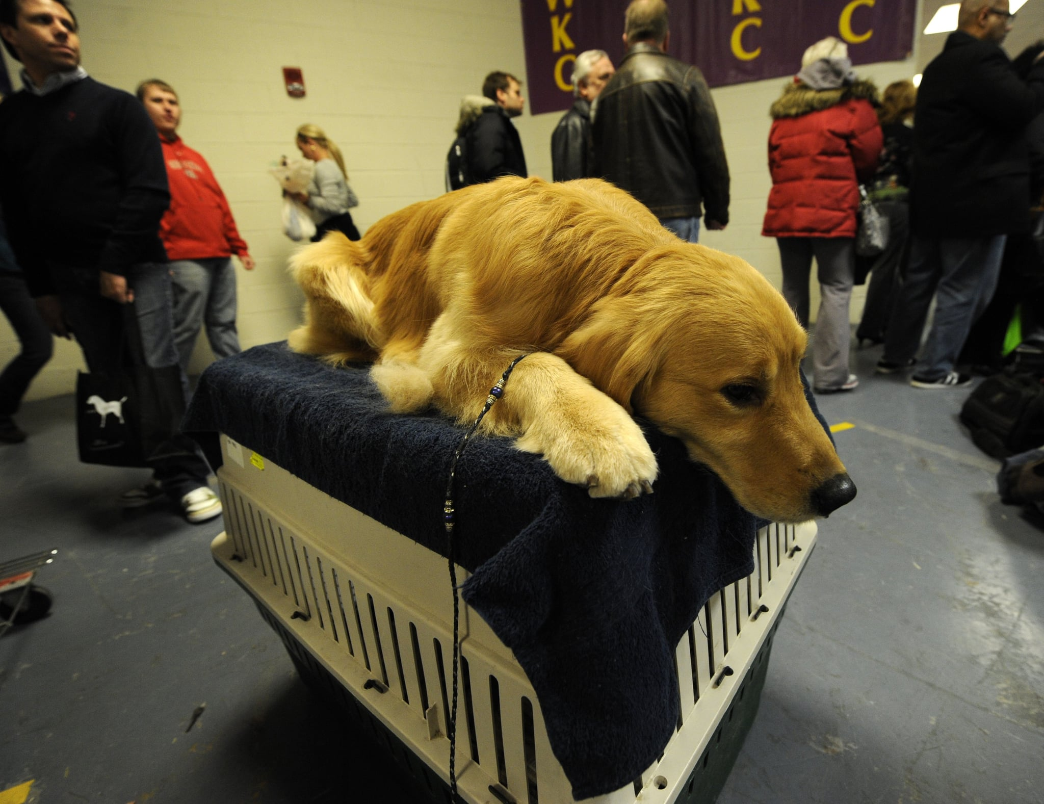 Henry the Golden Retriever works out some pre-show jitters on the grooming table.