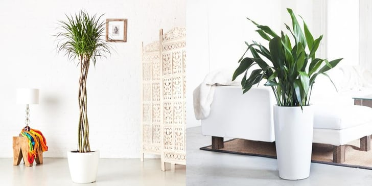 Large Indoor House Trees: Best Large Indoor Plants