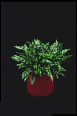 Plants That Purify:  Chinese Evergreen