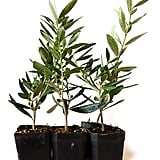 Olive Tree-Olea Europaea, Pack of 6 ($22)