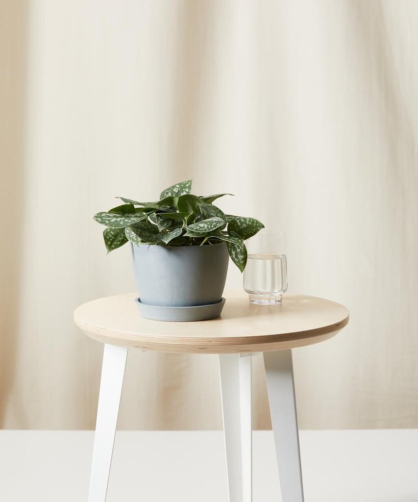 Bloomscape Silver Pothos Plant