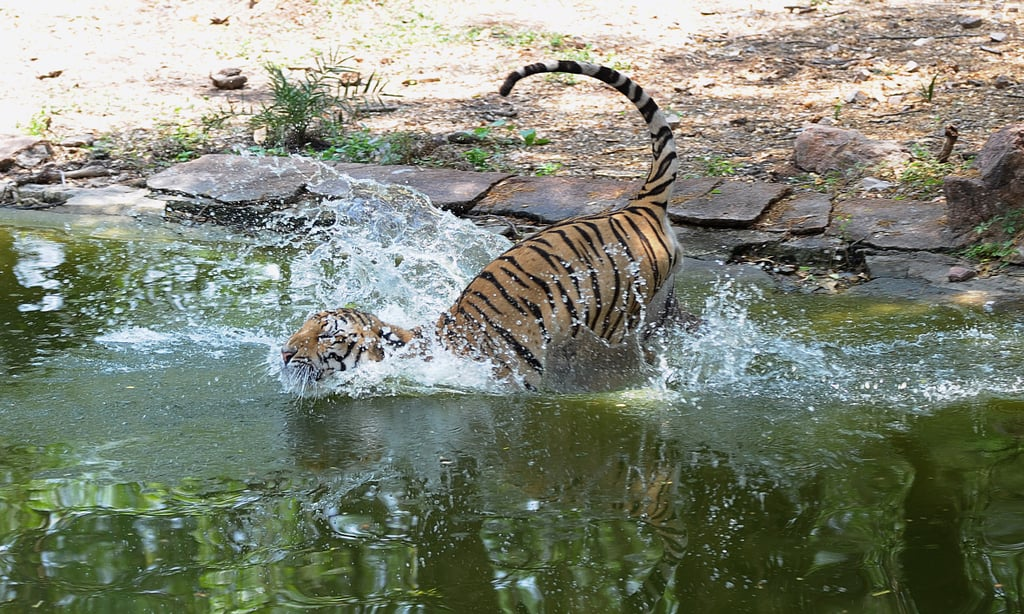 A Royal Bengal tiger takes the plunge at Nehru Zoological Park in Hyderabad, India.