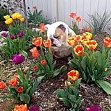 """Welcoming the tulips."" Source: Reddit user Sum_Bitch via Imgur"