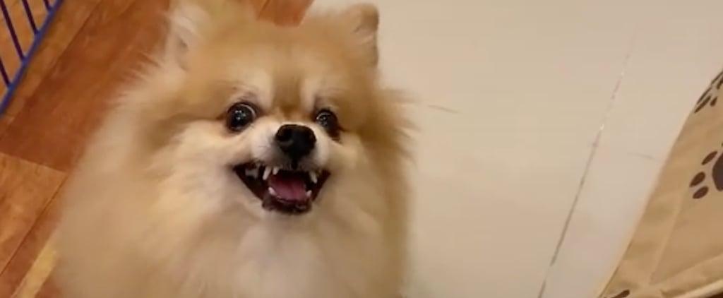 """""""Pretend to Put Your Dog on a Diet"""" Challenge TikTok Videos"""