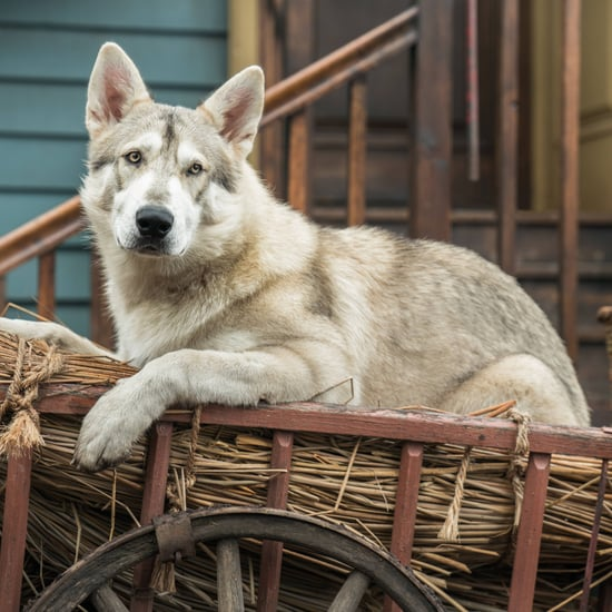 What Breed of Dog Is Rollo on Outlander?