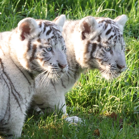 Despite their pale exterior, white tigers are not albinos, as they have blue eyes.