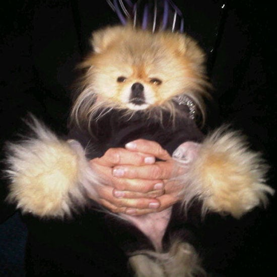 Meet Twitter's Hottest Celebrity Pup — Giggy the Pom