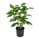 Schefflera Amate Plant