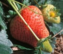 Spring Fruits Vine Ripening Quiz