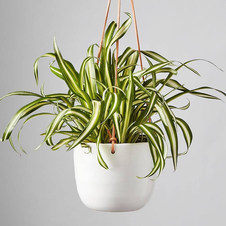 Plants.com Spider Plant
