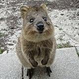 تتواجد حيوانات الكوكا بمعظمها على جزيرة روتنيست قبالة السواحل الغربيّة لأستراليا، وبالرغم من انتشارها في جميع أنحاء جنوب غرب أستراليا، تضاءلت أعدادها في القارّة ذاتها. Source: Tumblr user Well Now Your Here You May as Well Look Around