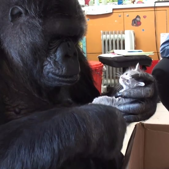 Koko the Gorilla Adopts 2 Kittens (Video)