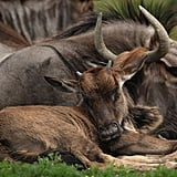 A wildebeest family lounges about. That little guy is dozing off.