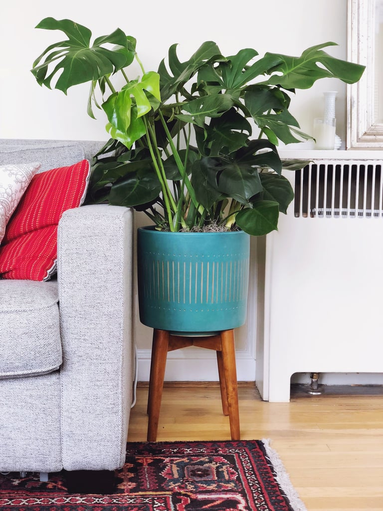"How to Decorate With Your Monstera aka ""Swiss Cheese"" Plant"