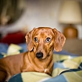 Cutest Dachshund Photos