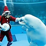 Santa's getting ready to give some Christmas fish to this hungry beluga.