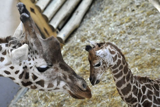 Get a Sneak Peek of a Baby Giraffe Before Its Public Debut!