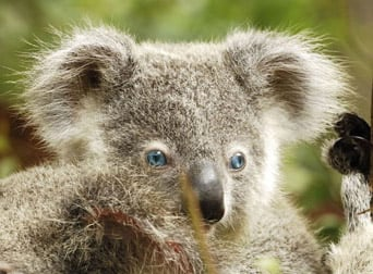 Blue-Eyed Koala Bear