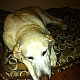 Product Manager Patrick Rice's Yellow Lab, Maddie, loves having her belly rubbed and chasing wild turkeys!