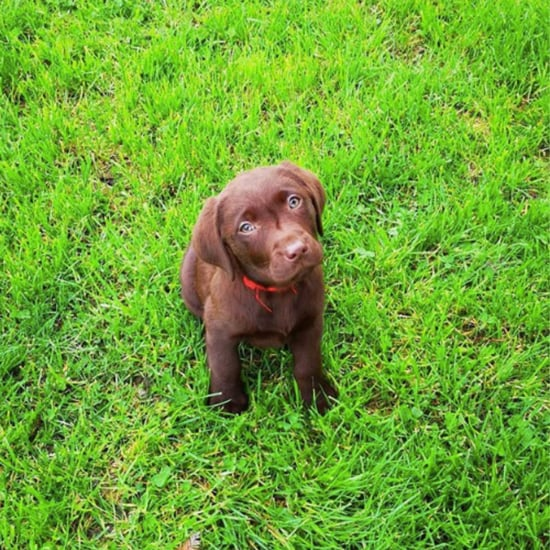 Cute Photos of Labrador Retriever Puppies