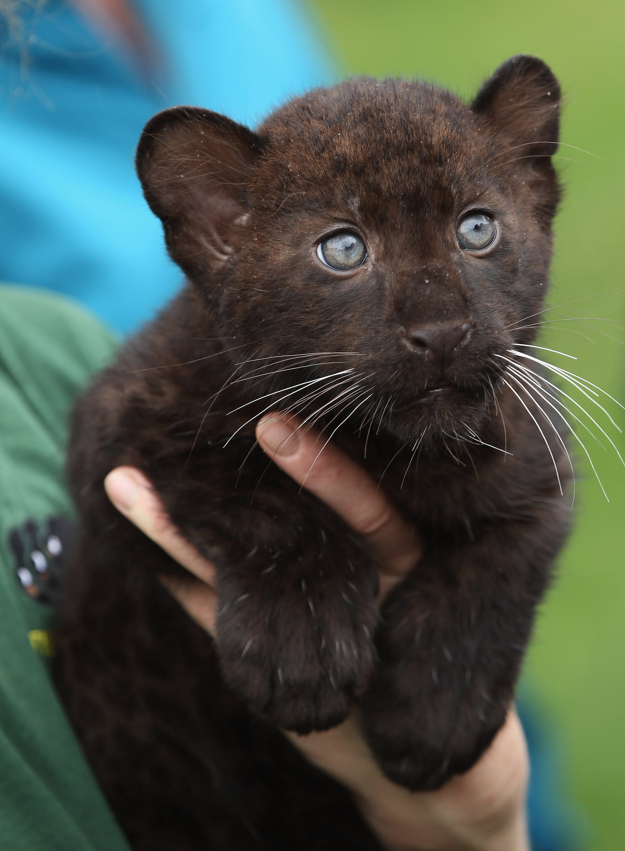 Panther cubs are born with their eyes closed, opening them ... - photo#4
